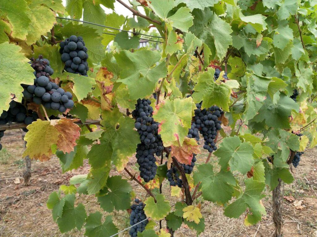 Rote Weintrauben am Stock